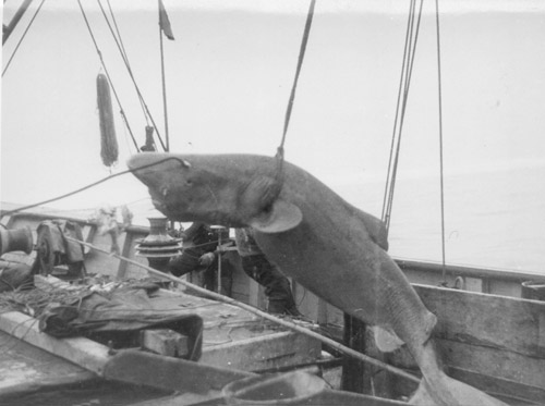 http://www.fiskeri.no/english/GreenlandShark2.jpg
