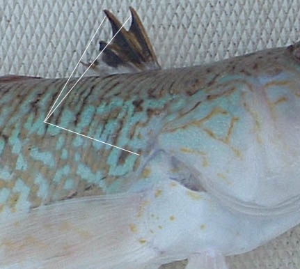 The poisonous spines of the weever fish. Photo: fiskeri.no